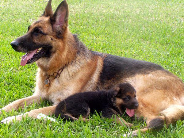 Собака, порода Немецкая овчарка