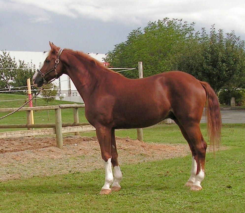 659 Лошадь, порода Швейцарская