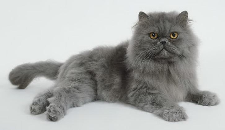 Кошка, порода Персидская