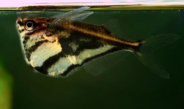 Аквариумная рыбка Полосатая карнегиелла
