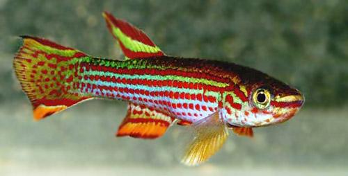 Аквариумная рыбка Афиосемион стриатум