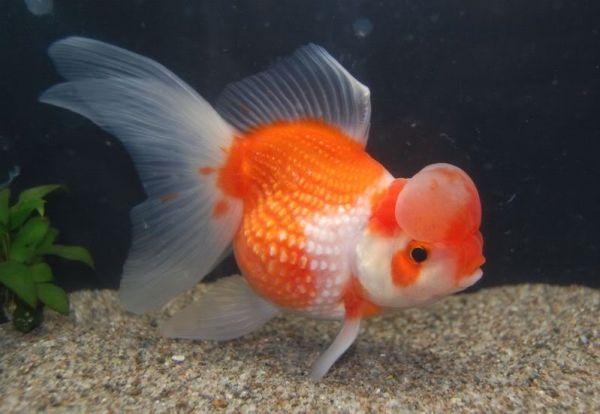 Аквариумная рыбка Жемчужина