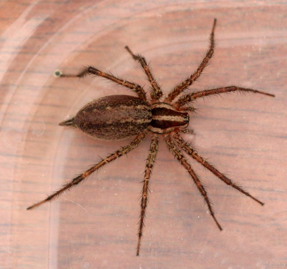 Коричневый паук — отшельник