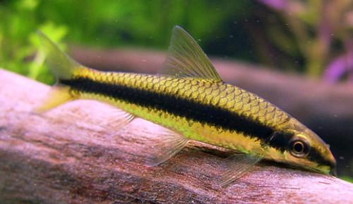 Аквариумная рыбка Сиамский водорослеед