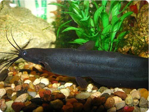 Аквариумная рыбка Мешкожаберный сом.