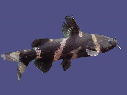 2305 Аквариумная рыбка Касатка сиамская
