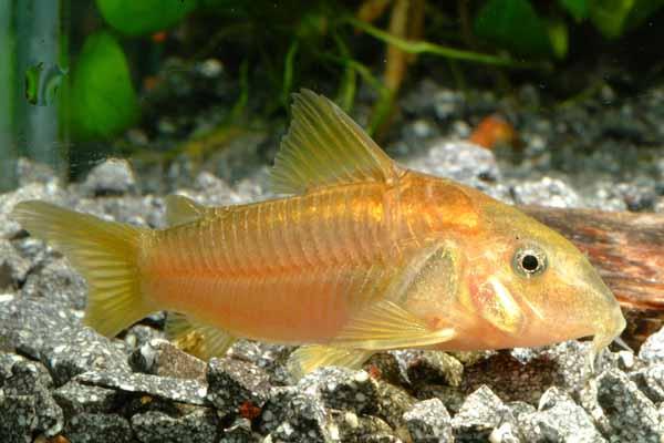 Аквариумная рыбка Золотистый сомик