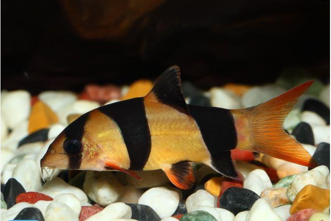 Аквариумная рыбка Боция клоун