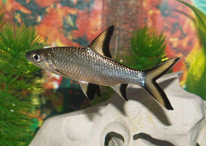 Аквариумная рыбка Акулий барбус (Бала)