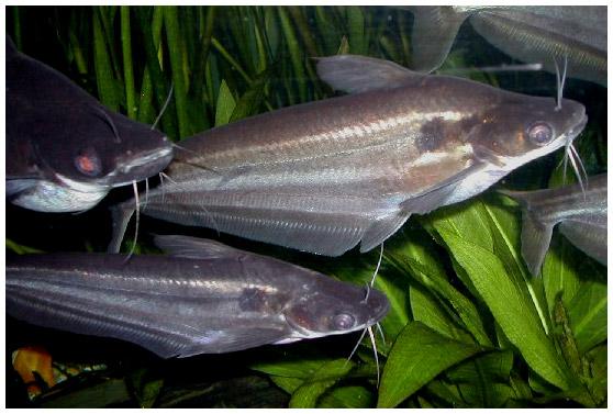 Аквариумная рыбка Шильб полосатый.