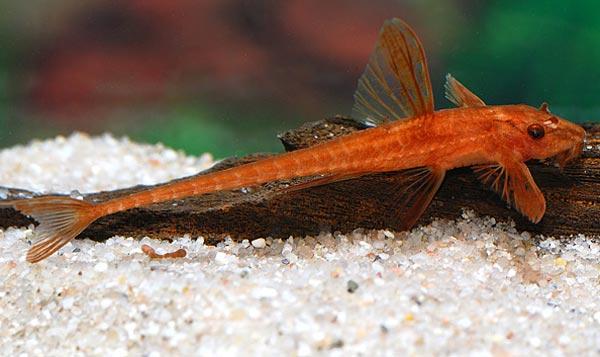 Аквариумная рыбка Лорикария.