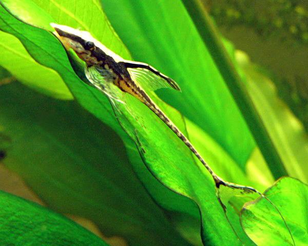 Аквариумная рыбка Панамская стурисома