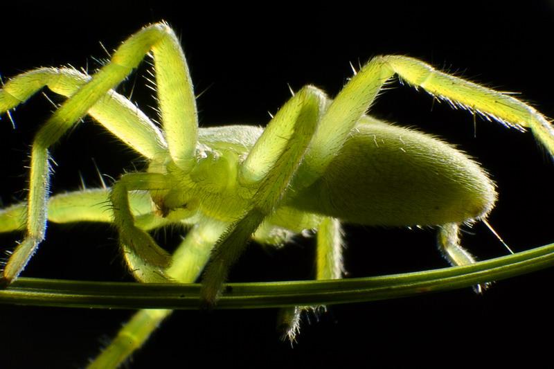2311 Банановый паук
