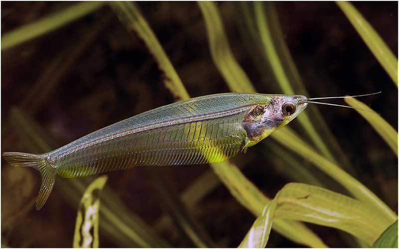 Аквариумная рыбка Двуусый индийский стеклянный сомик.