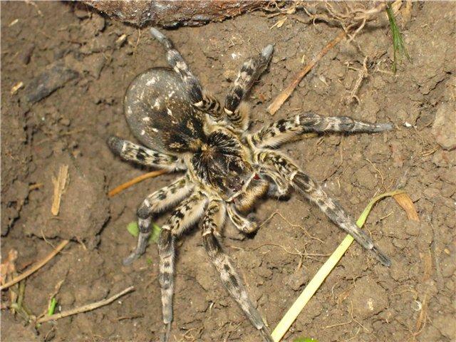 Паук Южнорусский тарантул