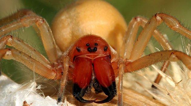 Желтый паук (Cheiracanthium)
