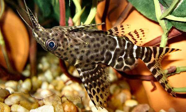 Аквариумная рыбка Синодонтис.