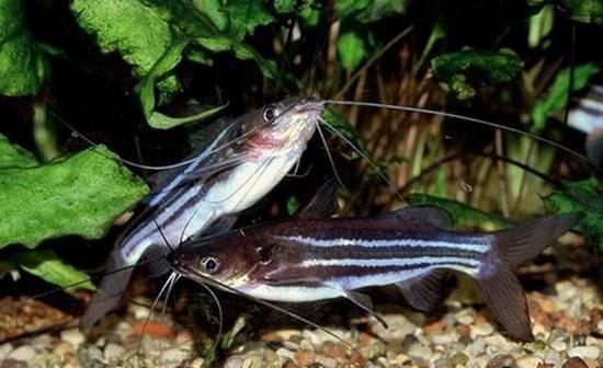 Аквариумная рыбка Мистус полосатый