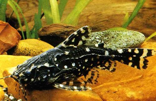 Аквариумная рыбка Белопятнистый агамиксис