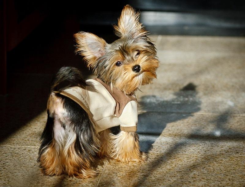 Собака, порода Йоркширский терьер