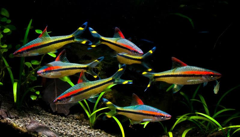 2291 Аквариумная рыбка Барбус денисони