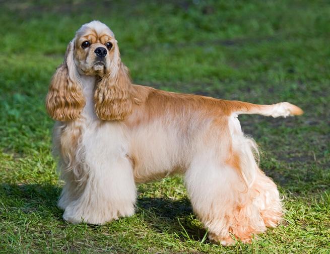 1580 Собака, порода Английский Кокер-Спаниель