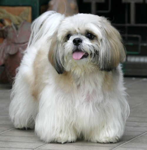 1574 Собака, порода Ши тцу