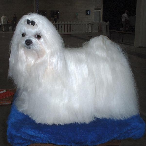 1583 Собака, порода Мальтийская болонка