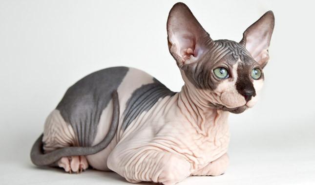 1679 Кошка, порода Лысый сфинкс