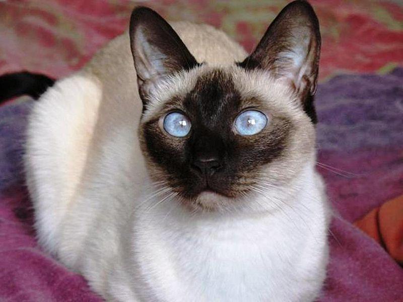 Кошка, порода Сиамская