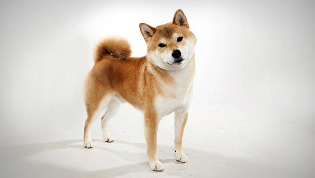 Собака, порода Шиба-Ину