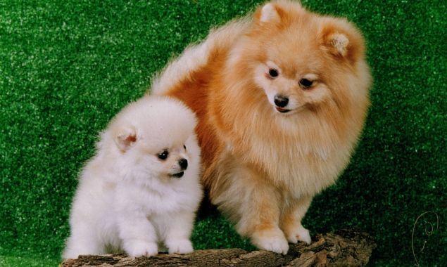 Собака, порода Карликовый шпиц