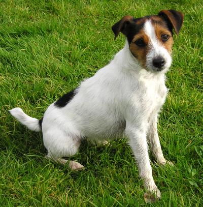 1578 Собака, порода Джек-Рассел-Терьер
