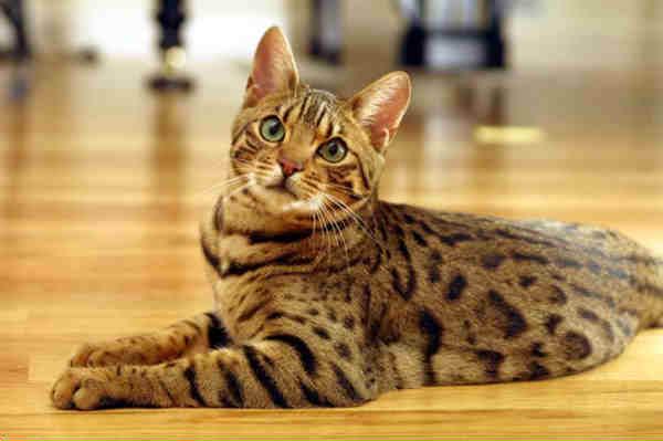 1671 Кошка, порода Бенгальская