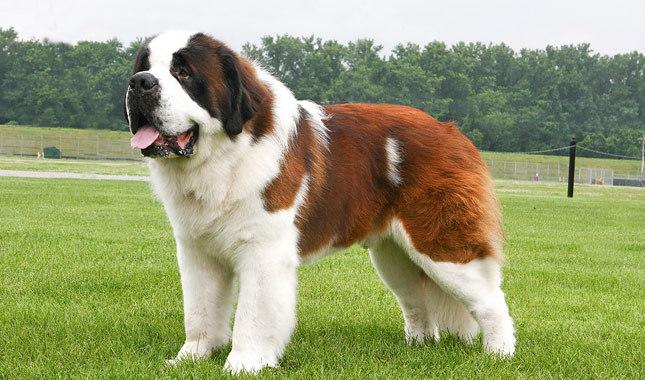 Собака, порода Сен-Бернар