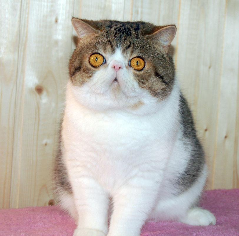 Кошка, порода  Экзотическая короткошерстная кошка