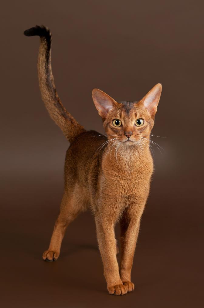 1677 Кошка, порода Абиссинская