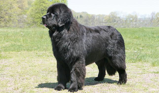 Собака, порода Ньюфаундленд