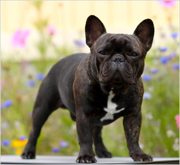 Собака, порода Французский Бульдог