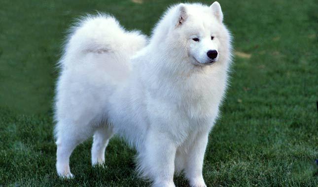 Собака, порода Самоедская лайка
