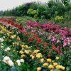 Болгария. Долина роз.