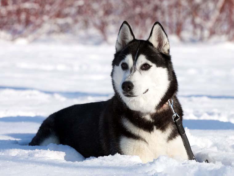 1158 Собака, порода Хаски