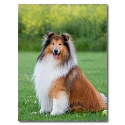 Собака, порода Колли