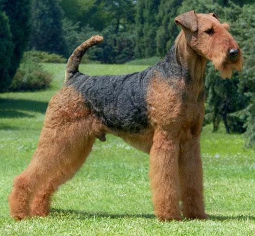 Собака, порода Эрдельтерьер