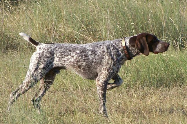 1638 Собака, порода Пойнтер