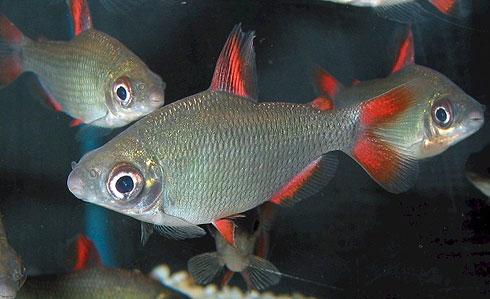 Аквариумная рыбка Дистиход красноплавничный.