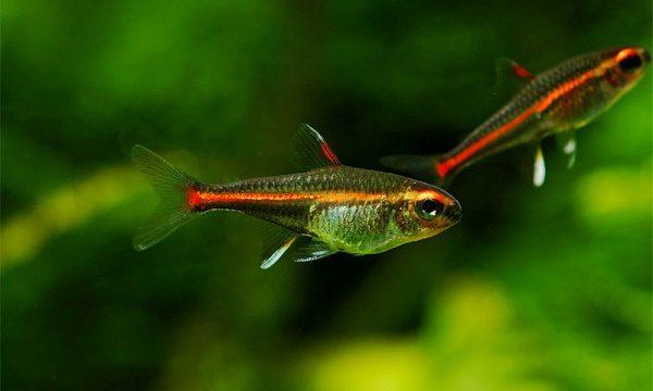 Аквариумная рыбка Эритрозонус.