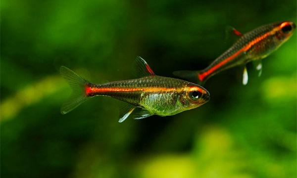2000 Аквариумная рыбка Эритрозонус.