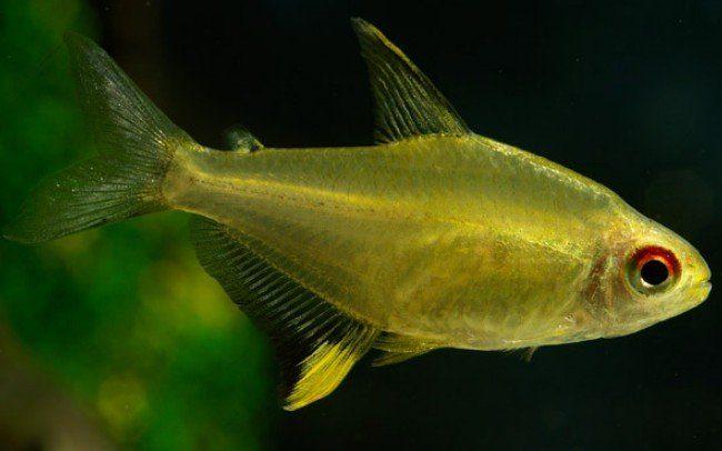 Аквариумная рыбка Лимонная тетра.