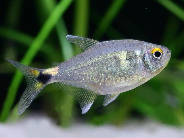Аквариумная рыбка Фонарик.